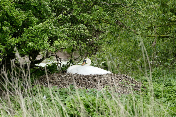 swan nesting birds summer river trent