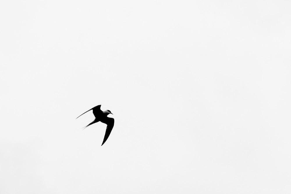 tern birds sky b&w sillhouette