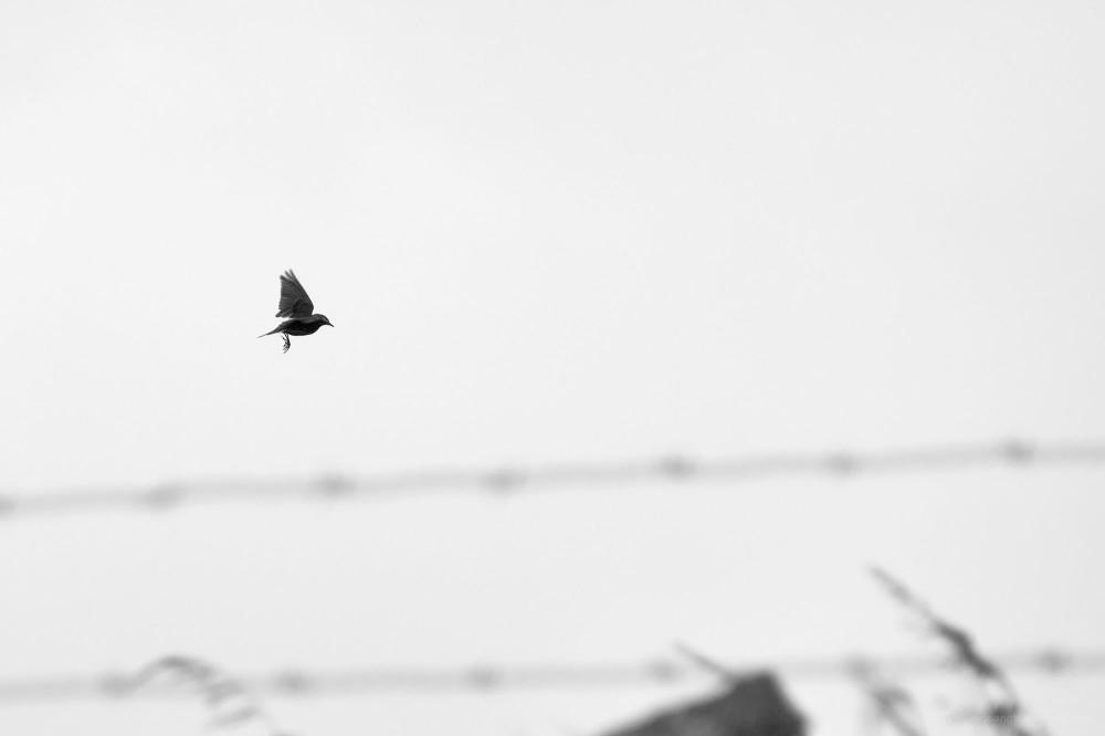 skylark birds silhouettes b&w