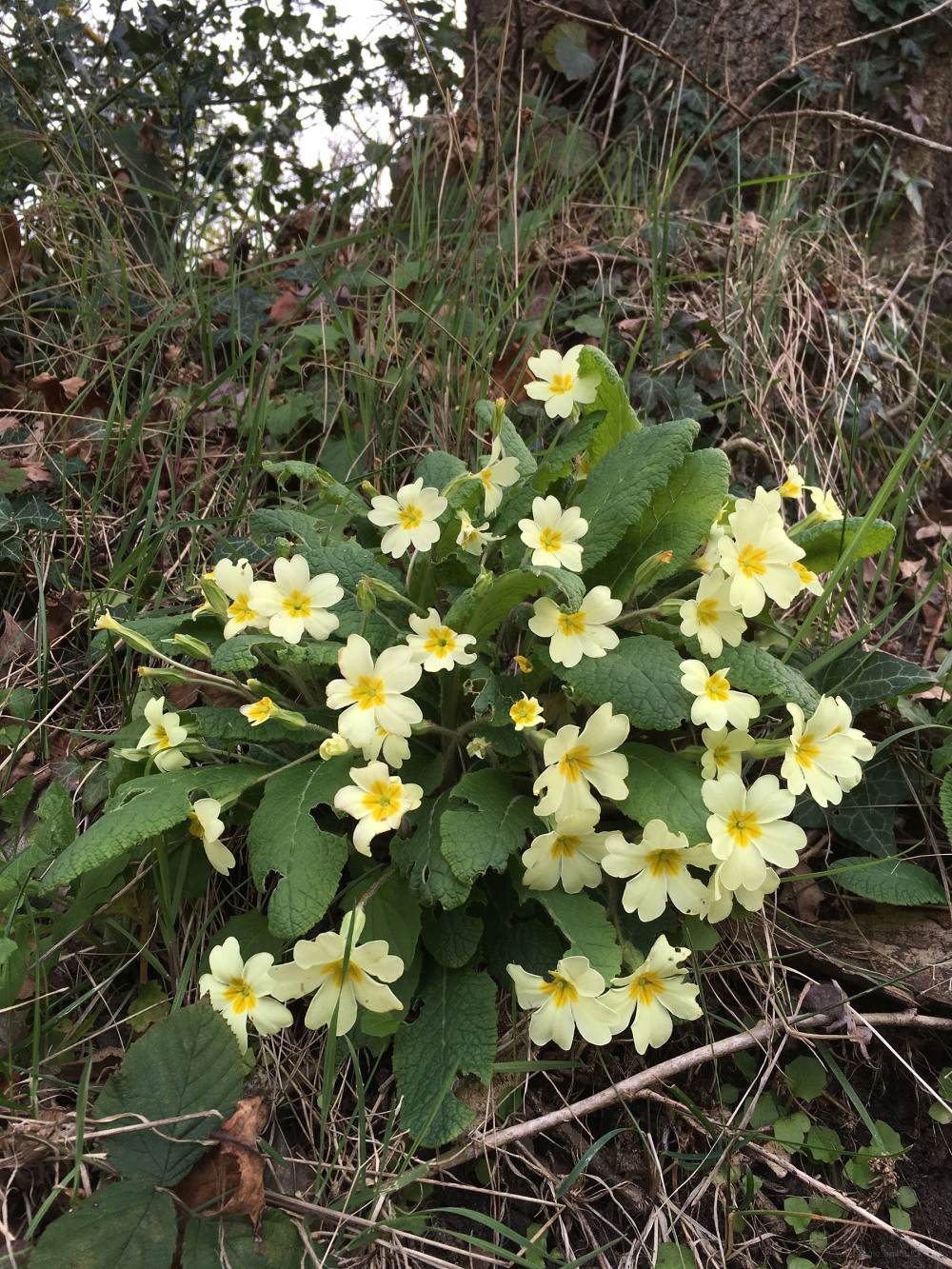 primrose plants spring nature
