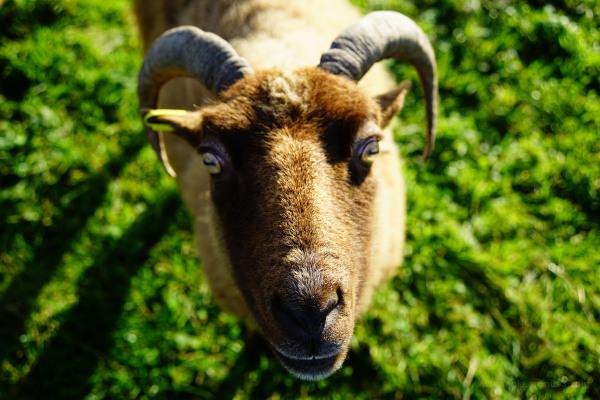 sheep goats farm