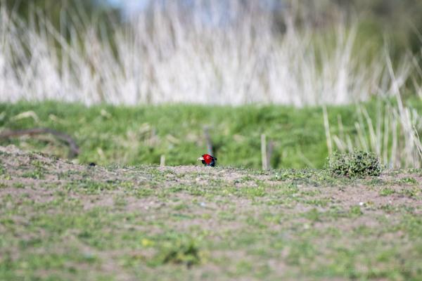 Peeking Pheasant