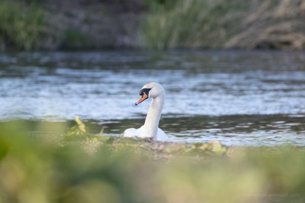 Peeking Swan