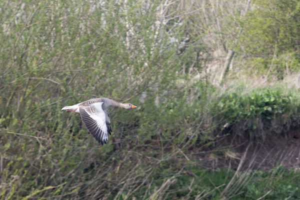 Greylag Goose on River Trent