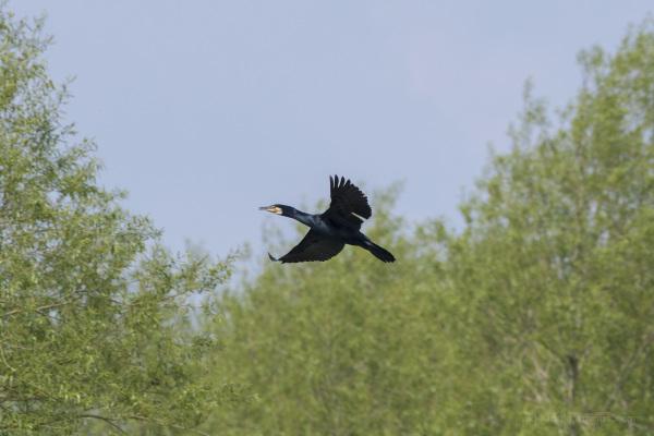 Cormorant on the Move