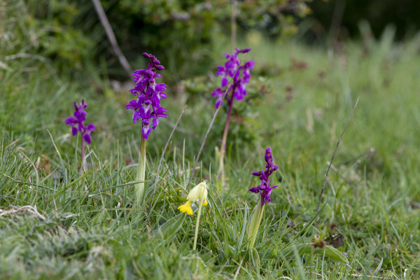 Early Purple Orchid's