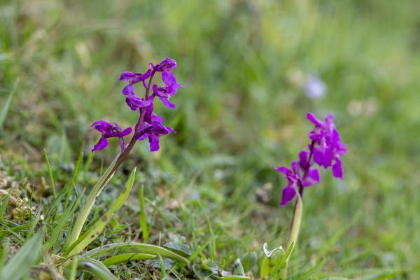 Early Purple Orchid's near Brassington