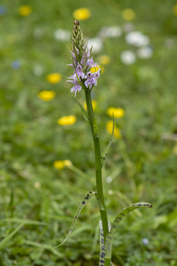 orchids flowers wildUK nature spring colour