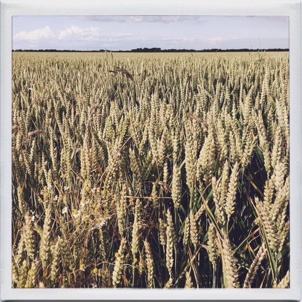 Wheatfield in East Riding
