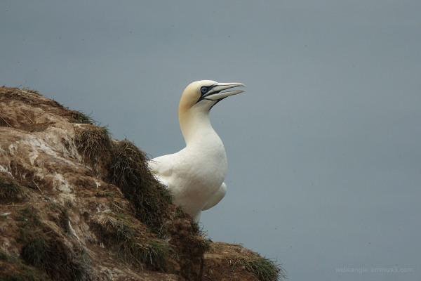 Gannet off Bempton Cliffs