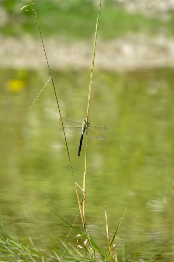 dragonfly damselfly wings insects colours water