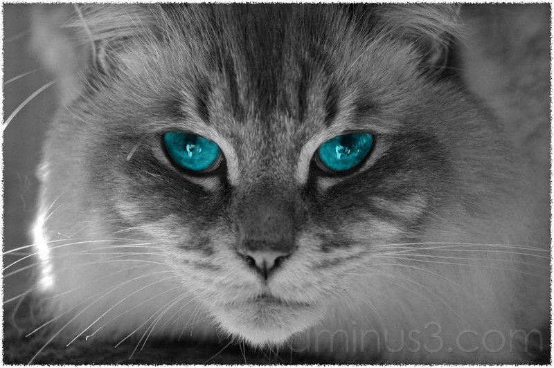 black & white image of cat with blue eyes