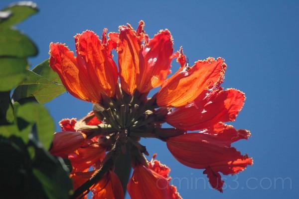 orange tulip flower tree