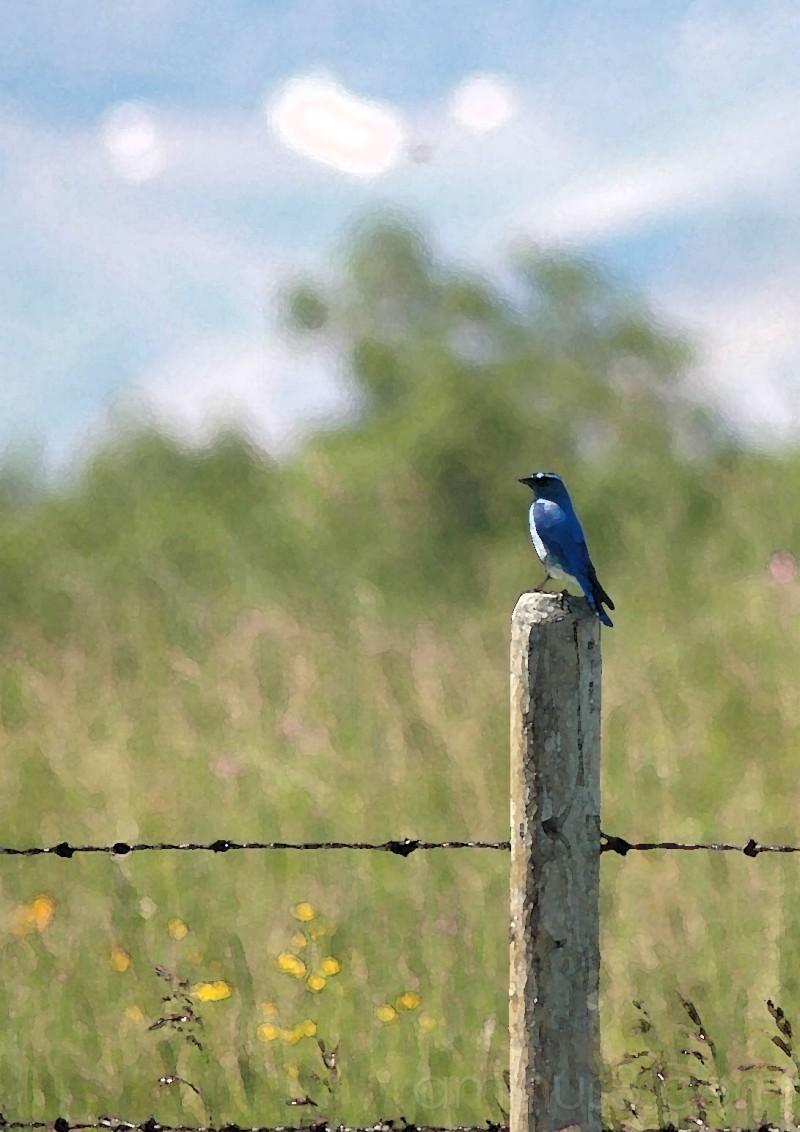 blue bird on fence by field near pincher creek