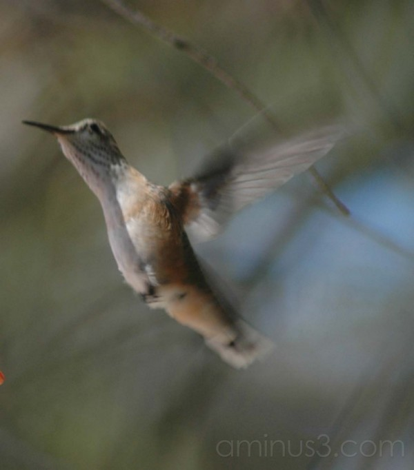 calliope hummingbird in mid flight