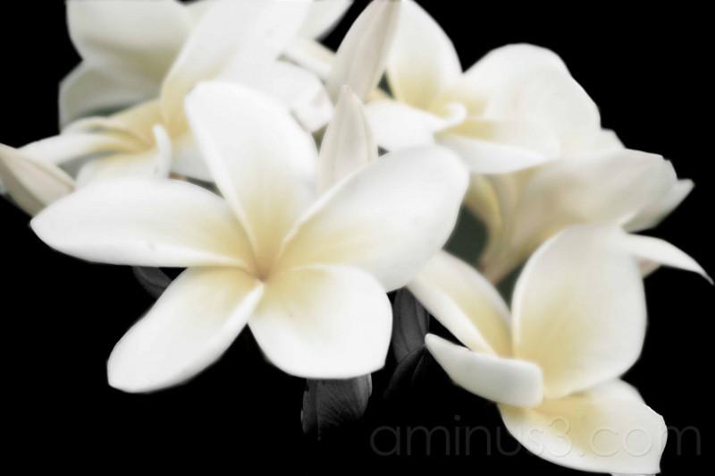 subltle tones on b/w of plumeria/frangipani
