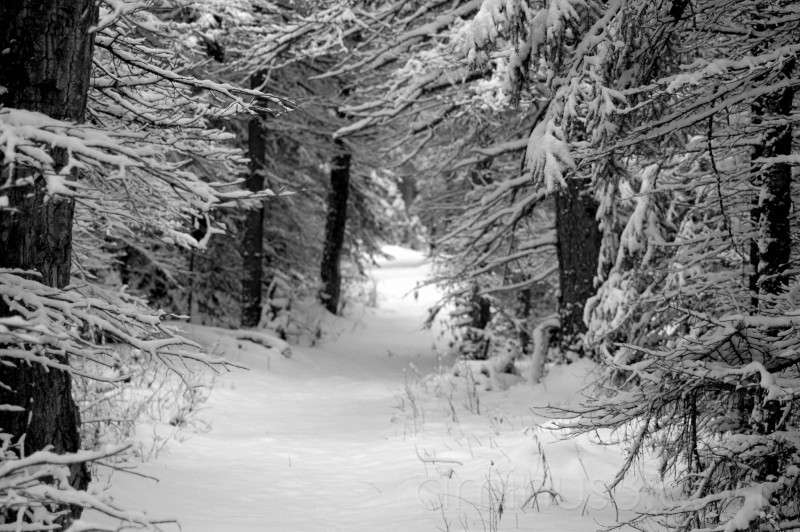 trees with snow in black and white