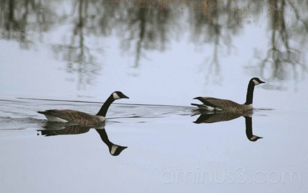 canadian geese pond reflections