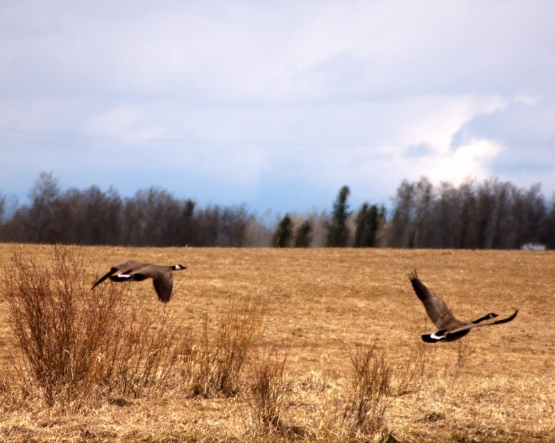 canadian geese in flight over marsh