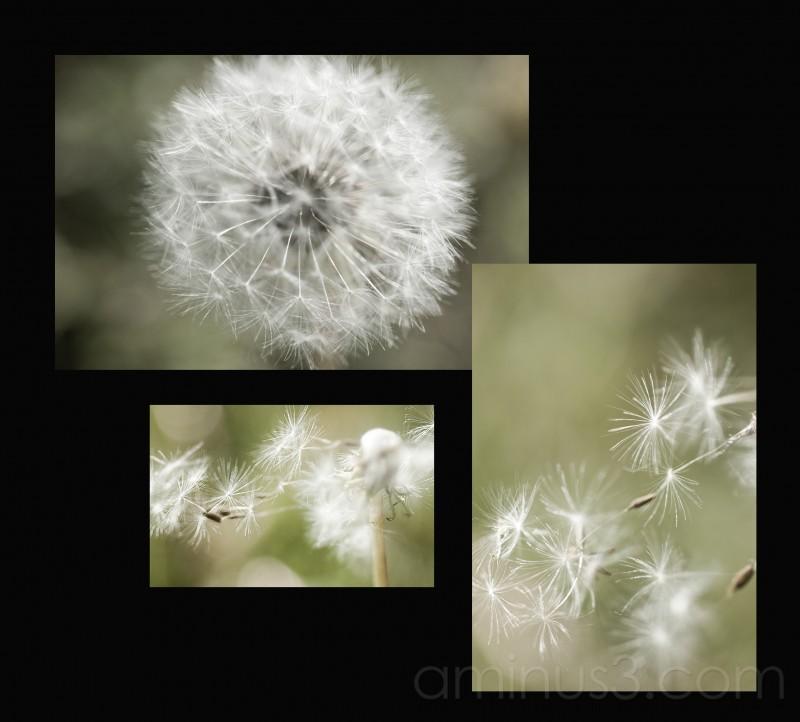 My version of the dandelion..