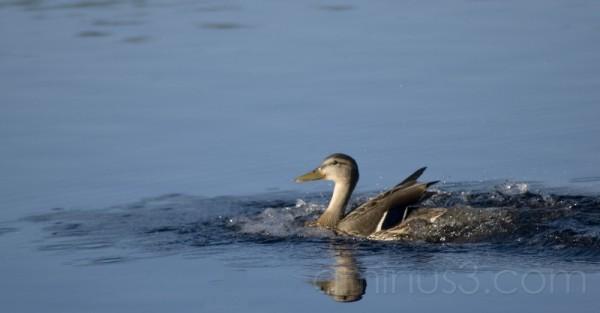 Smiley duck