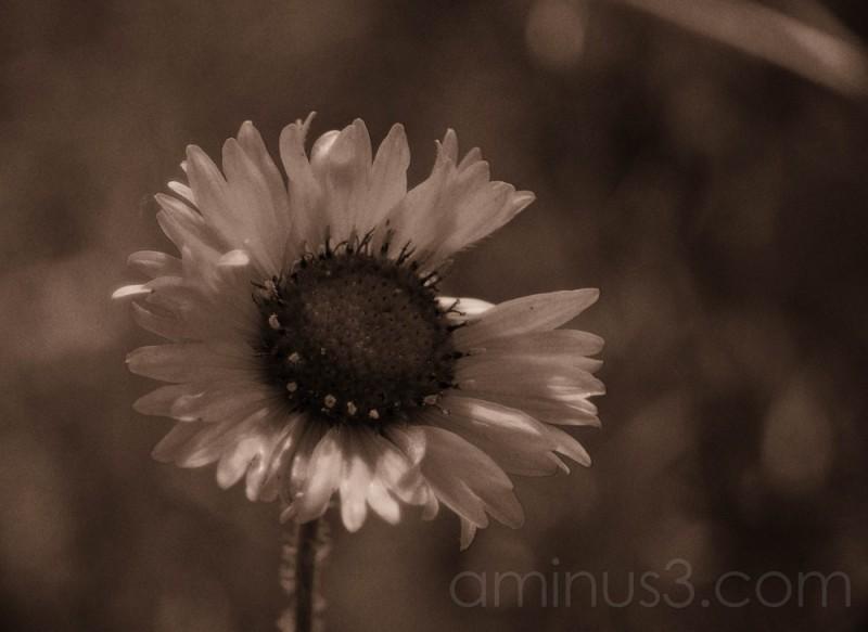 daisy in lith