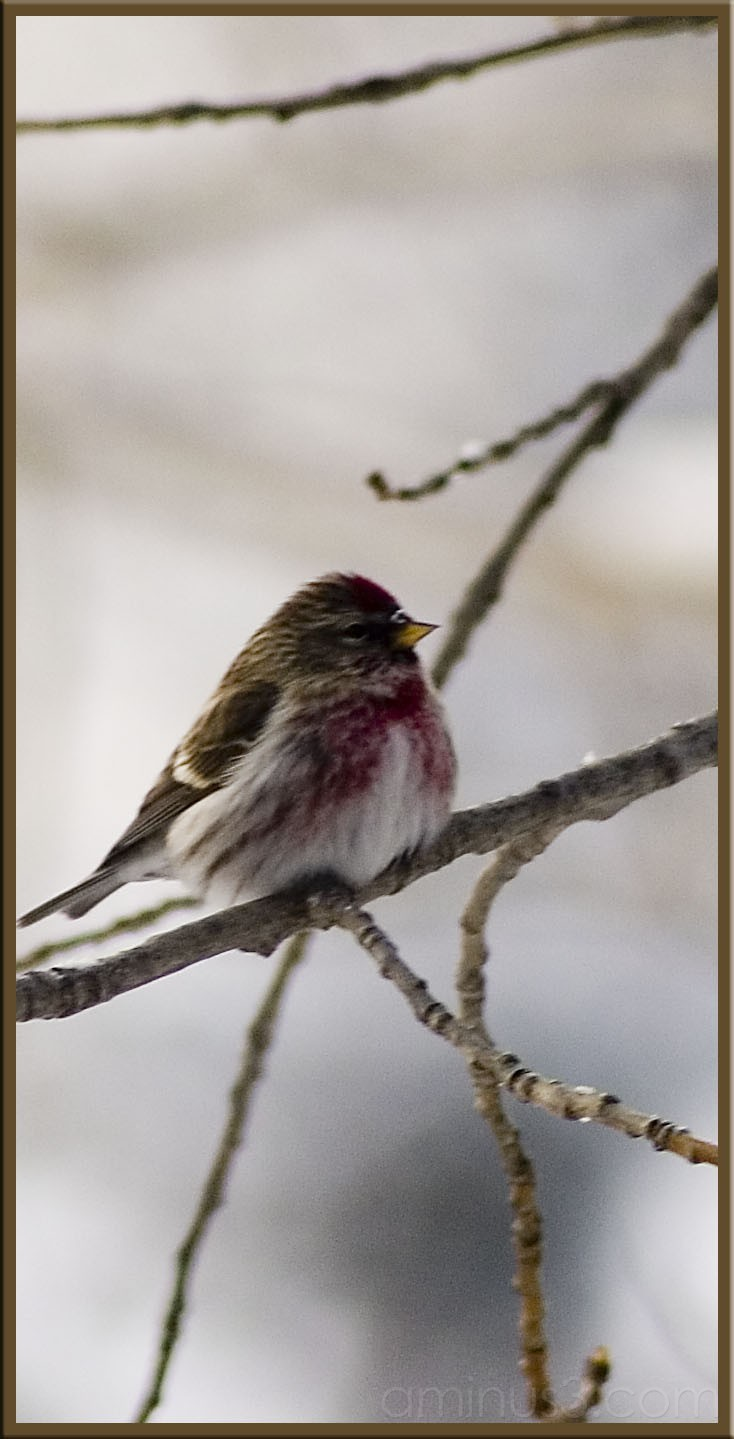 red poll I