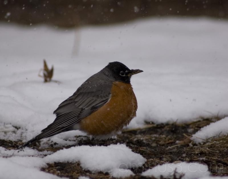 robin red breast II