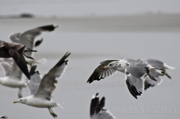 gulls...