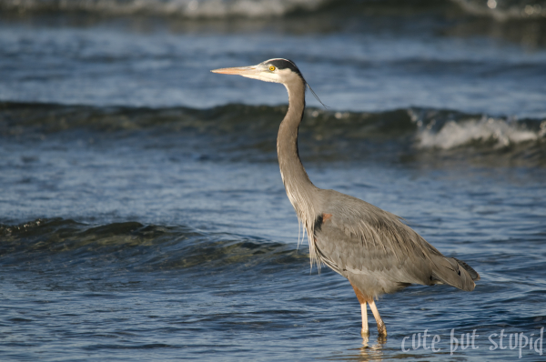 great blue heron vancouver island qualicum beach