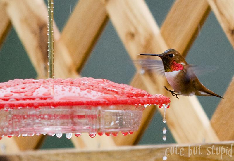 hummingbirds nanaimo vancouver island
