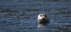 harbour seal vancouver island gabriola island