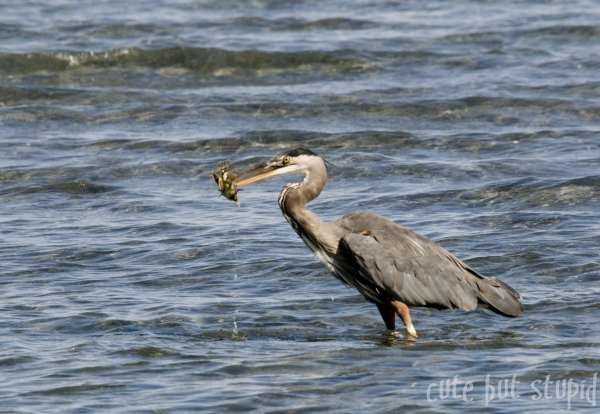 blue,heron,catch,qualicum,beach,water