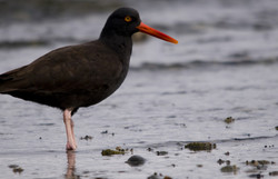 oyster catcher,rathtrevor,beach,rocks,ocean,water