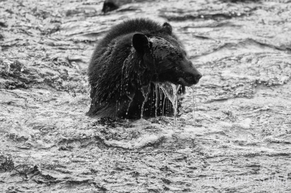 black bear at thornton creek ucluelet bc