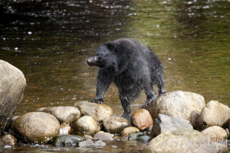 black bear at thornton creek fish hatchery