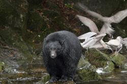 black bear ucluelet vancouver island