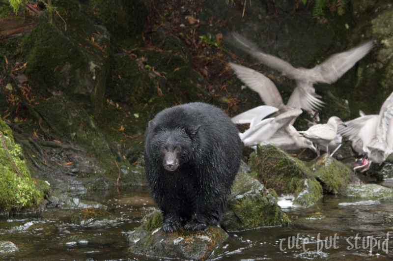 black bear ucluelet vancouver island