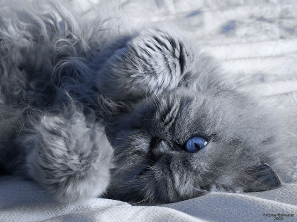 cuddles the cat with blue eyes