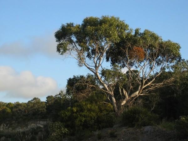 Gum tree in bush setting