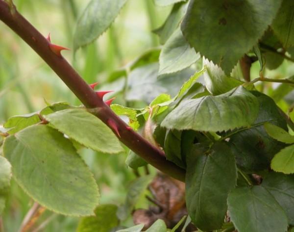 Rose Thorn agaist light