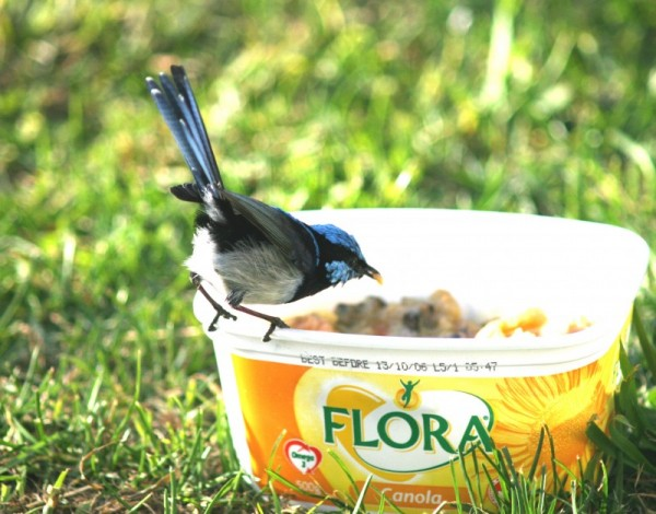 Fairy WRen at Breakfast
