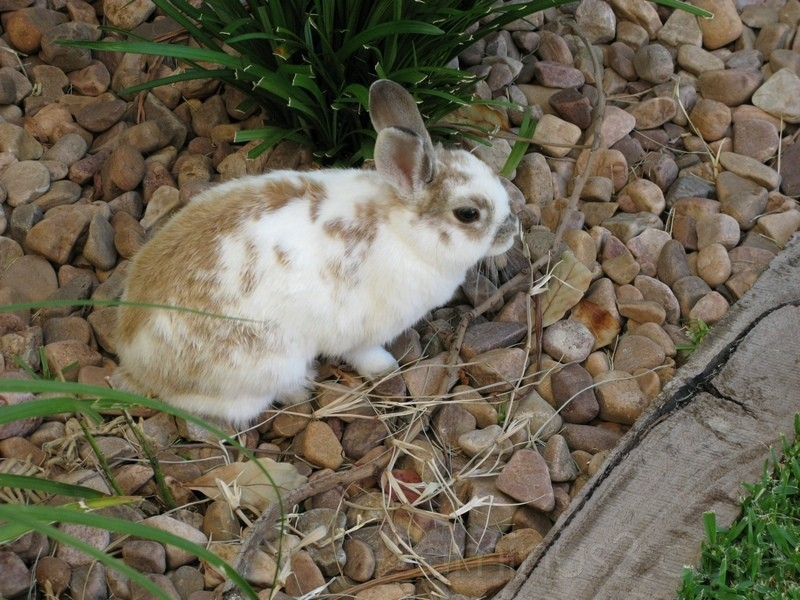 Suburban Rabbit
