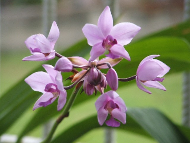 Ground Orchid