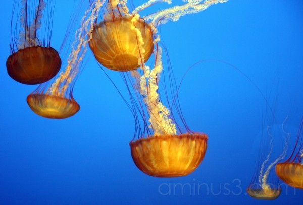 Orange Jelly Fish