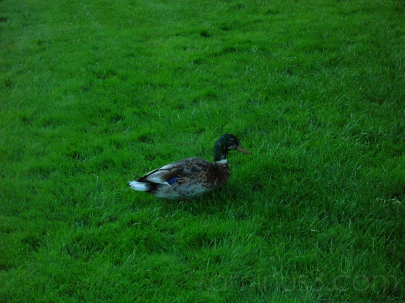 Duck in my Apartment complex