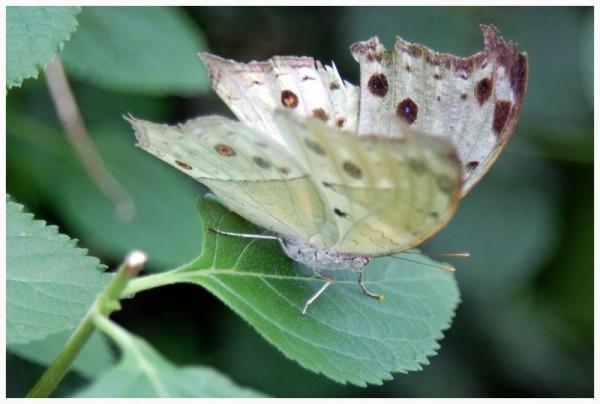 Butterfly (I)