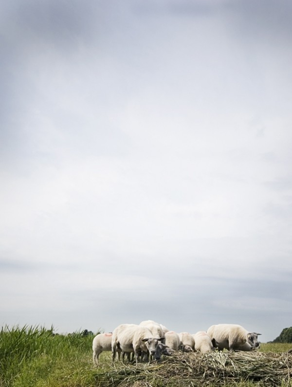 Some sheep against a threatening sky