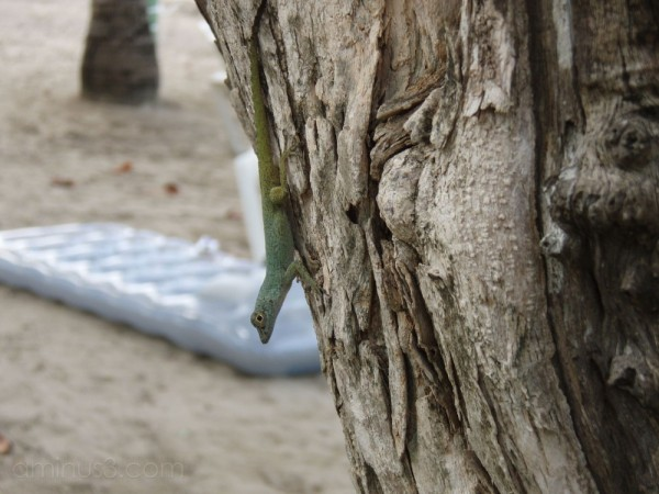 beach gecko dominican republic