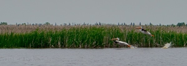pelicans lake winnipeg